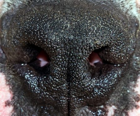 dog nose: nose of the dog macro picture