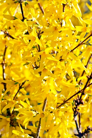 yellow spring forsithia on a spring sunny day