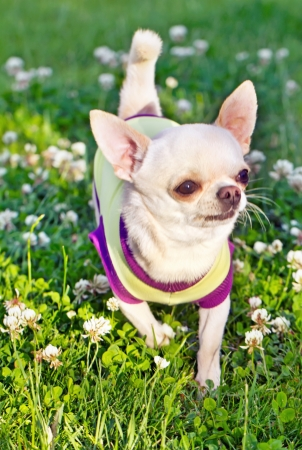 chihuahua in het gras Stockfoto