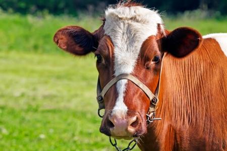 cute cow looking at camera