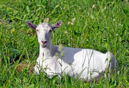 goat lying in the grass