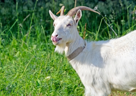 funny goat in the grass Stock Photo
