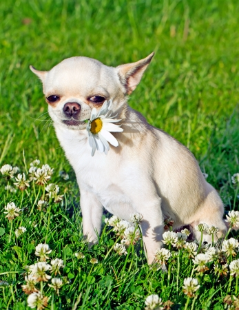 dog holding flower in mouth Stock Photo