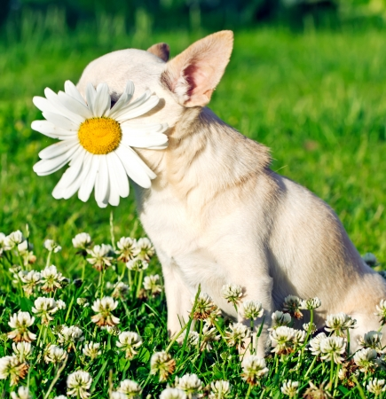 dog with camomile in mouth photo