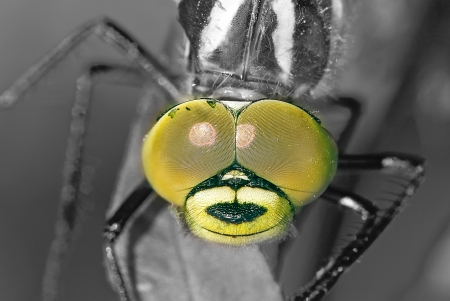 head of dragon fly close up  black and white picture