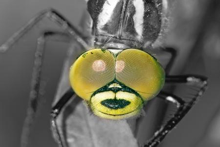 hoofd van dragon fly close-up zwart-wit foto Stockfoto