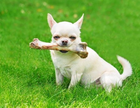 small dog holding big bone and sitting on the grass photo