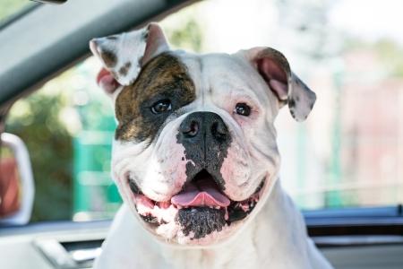 gelukkige hond enjoing reis per auto amerikaanse bulldog in auto
