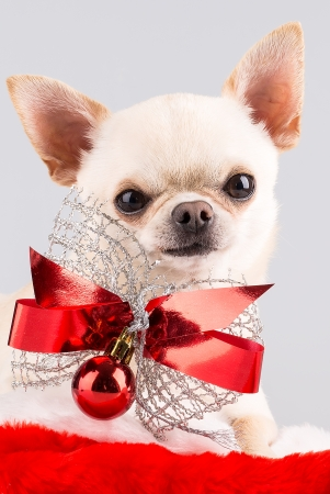 chihuahua with red bow and christmas ball sitting in santa photo