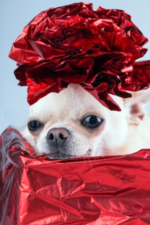 small chihuahua in the present box with red bow on the head photo