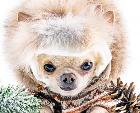 cute chuhuahua in hat on a winter day  photo