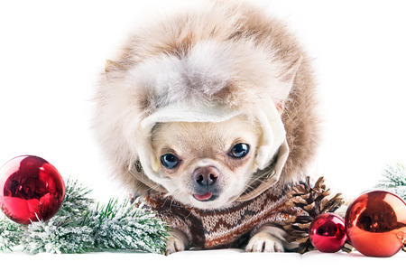funny chihuahua in cap and coat with red christmas balls  photo