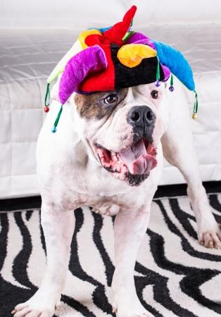 yawning american bulldog in funny cap . photo