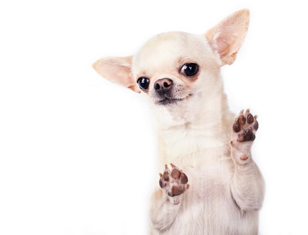 happy funny small dog standing up photo