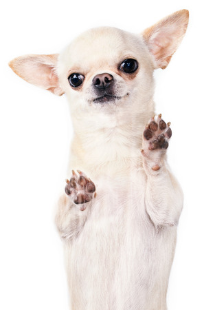 standing up chihuahua vertical picture photo
