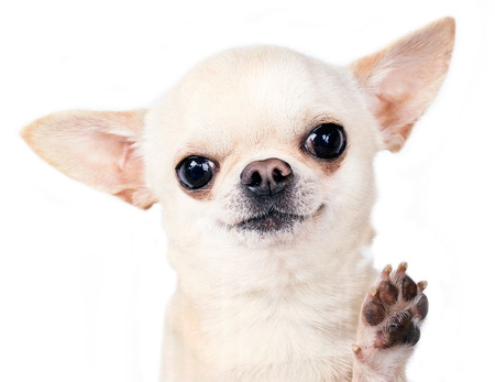 beautiful tiny cihuahua standing with paw up photo