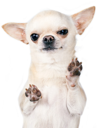 angry chihuahua standing with paws up photo