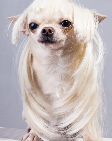 cute chihuahua dog in wig sitting and looking at camera photo