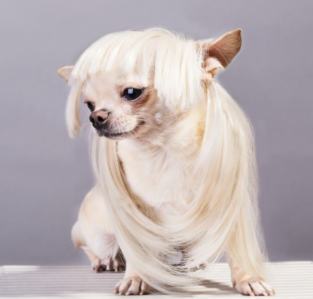 funny chihuahua dog in wig photo