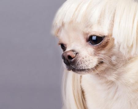 beautiful chihuahua dog photo