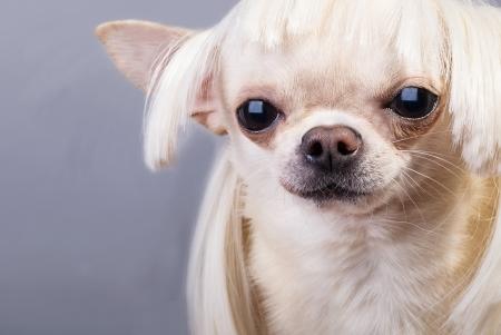 portrait of cute chihuahua  photo