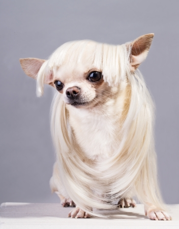 funny beautiful chihuahua dog in blond wig photo
