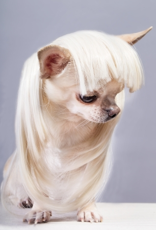 fashionable small chihuahua dog in wig photo