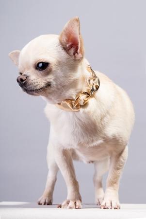 chiwawa: happy beautiful chihuahua dog with golden chain  Stock Photo