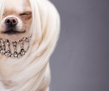 mooie chihuahua hond close-up foto