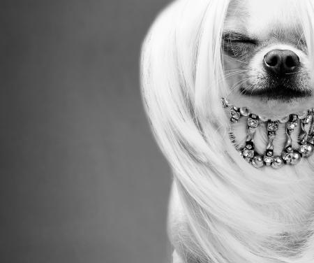 ontzagwekkende chihuahua hond zwart-wit close-up foto Stockfoto