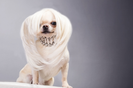salon background: marvellous chihuahua dog with long hair and necklace