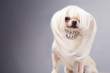 long hair chihuahua: funny cute chihuahua dog sitting and looking at camera Stock Photo