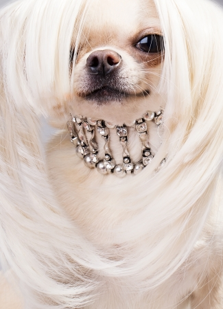 cute chihuahua dog with collar  wearing wig