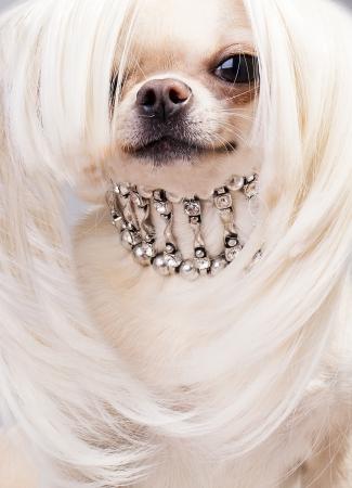 leuke chihuahua hond met kraag draagt pruik