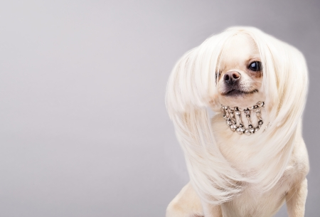 wig: cute chihuahua dog posing before camera