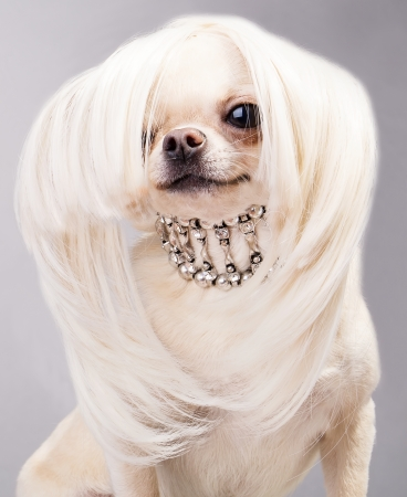 long hair chihuahua: adorable chihuahua dog with accessories