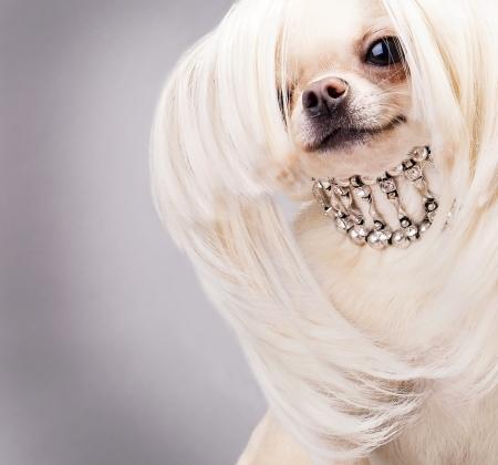 gelukkig chihuahua hond met lang haar en kraag close up