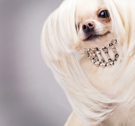 happy chihuahua dog with long hair and collar close up