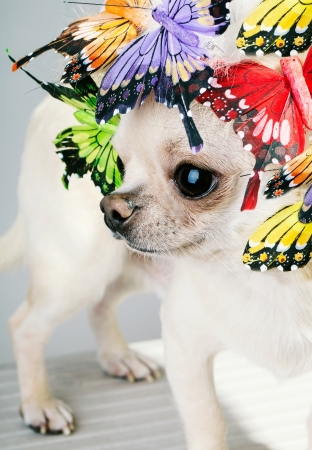 head close up: chihuahua dog with butterflies on head close up