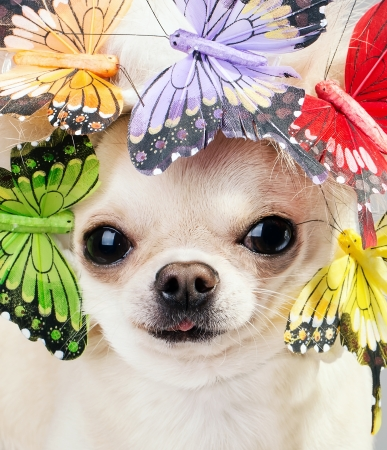 funny chihuahua dog close up picture