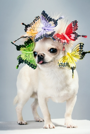 chihuahua dog with butterflies on head funny picture photo