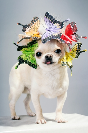 chihuahua dog funny portrait photo