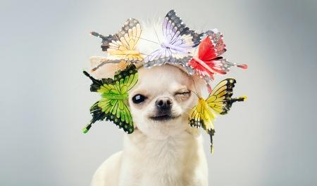 chihuahua hond knipogen close-up foto