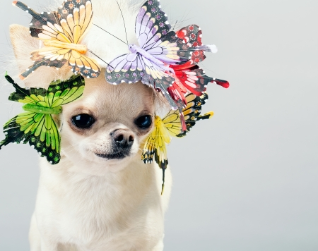 dog chihuahua close up picture photo