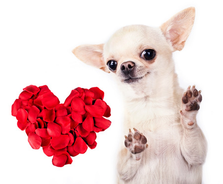 red heart and chihuahua dog isolated Stock Photo