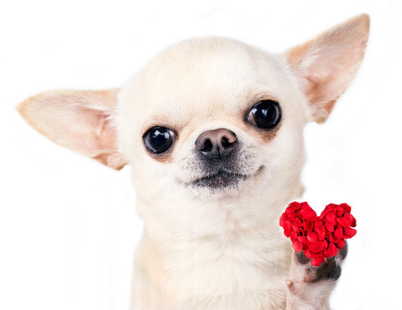 dog with red heart in paw isolated   Stock Photo