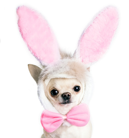 chihuahua hond in een grappig kostuum van een Paas haas geïsoleerd