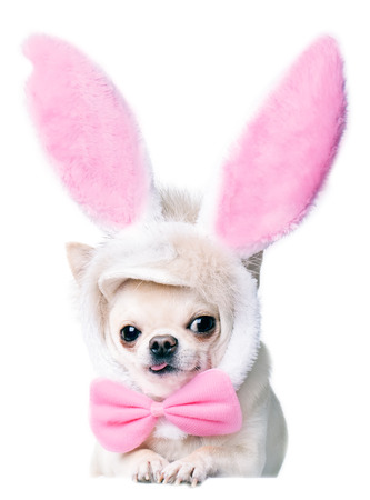 rabbit ears: lying chihuahua dog in a costume isolated