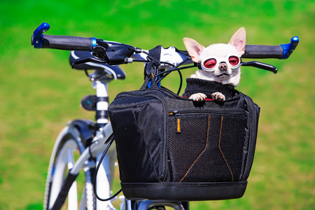 funny chihuahua in sunglasses in bicycle bag Stock Photo