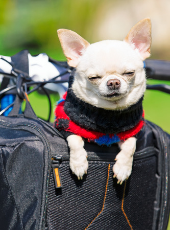 funny dog in a bicycle basket . Stock Photo
